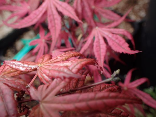 Acer palmatum 'Olsens frosted strawberry'